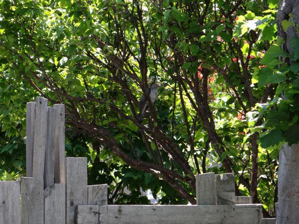 雀の親子、餌台・水場、カッコウなど_a0136293_18444195.jpg