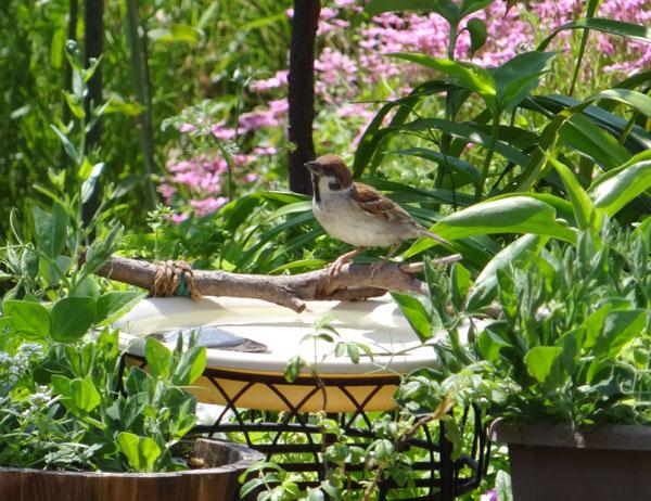 雀の親子、餌台・水場、カッコウなど_a0136293_18552472.jpg
