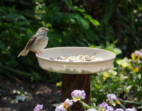 雀の親子、餌台・水場、カッコウなど_a0136293_18582461.jpg