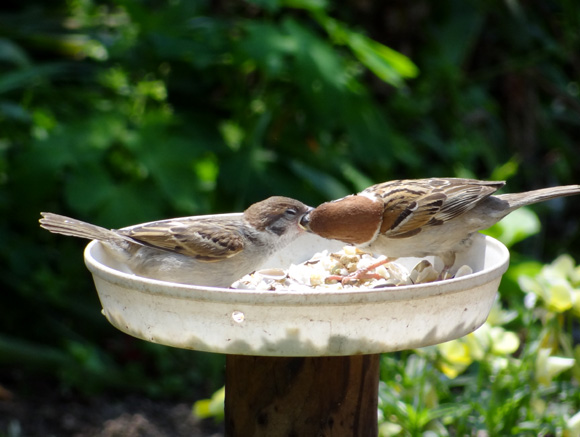 雀の親子、餌台・水場、カッコウなど_a0136293_1901121.jpg