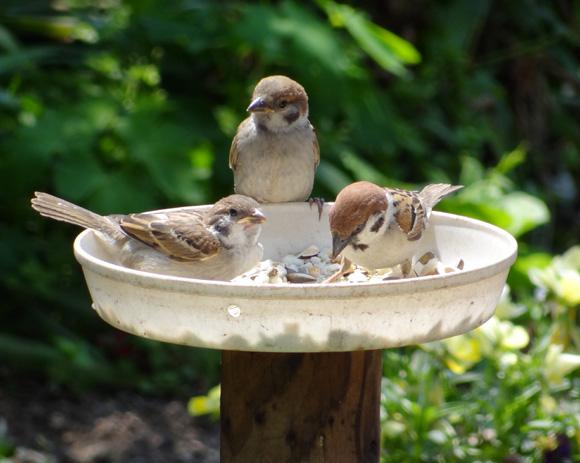 雀の親子、餌台・水場、カッコウなど_a0136293_1903718.jpg