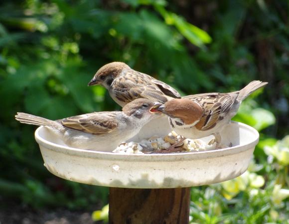 雀の親子、餌台・水場、カッコウなど_a0136293_1905369.jpg