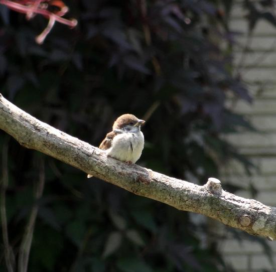 雀の親子、餌台・水場、カッコウなど_a0136293_1911488.jpg