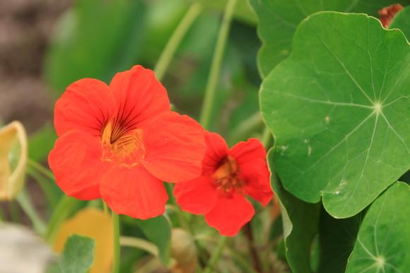 菜園で夏の花が咲き始めました_e0048413_18354241.jpg