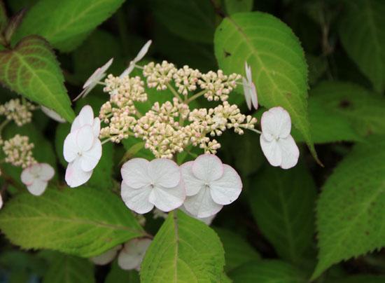 菜園で夏の花が咲き始めました_e0048413_18361880.jpg