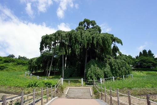 三春滝桜_d0004728_530554.jpg