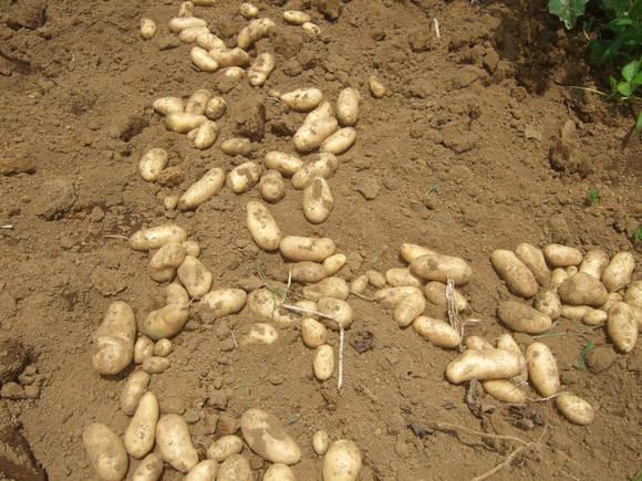 ジャガイモの収穫...ジャガイモの保存_b0137932_17173888.jpg