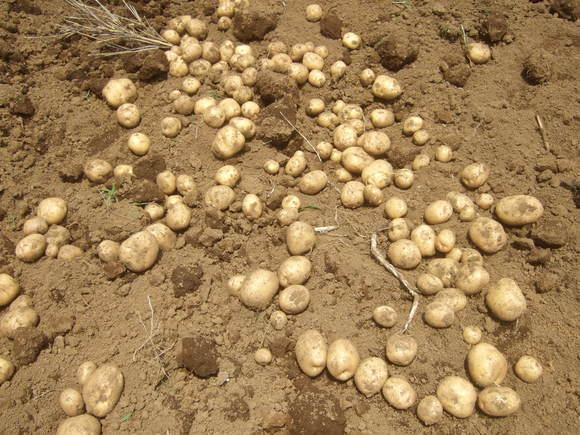 ジャガイモの収穫...ジャガイモの保存_b0137932_1718059.jpg