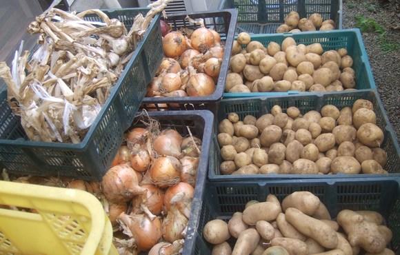 ジャガイモの収穫...ジャガイモの保存_b0137932_1811779.jpg