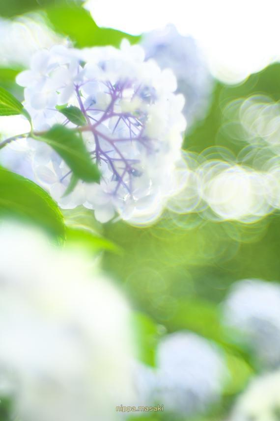 紫陽花の道(また、アジサイで(--,)_a0258534_23235275.jpg