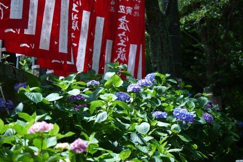 栃木市 太平山のあじさいまつり_e0227942_2213042.jpg