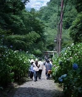 栃木市 太平山のあじさいまつり_e0227942_22424730.jpg