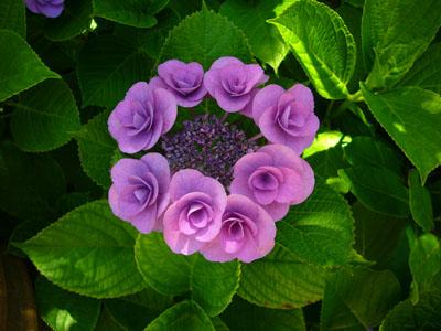 紫陽花_f0105054_1583378.jpg