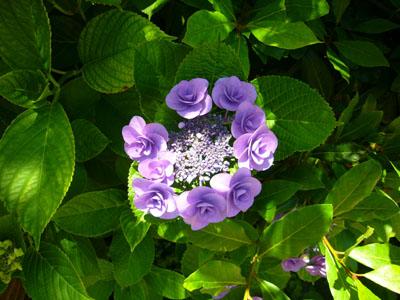 紫陽花_f0105054_158390.jpg