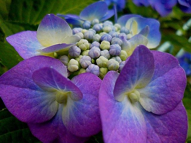 ある日のチャッピー 紫陽花_d0105967_9223510.jpg