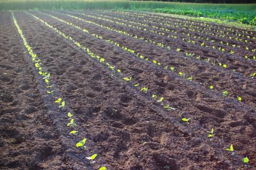 最近の大豆畑とジャガイモの花_c0110869_21374851.jpg