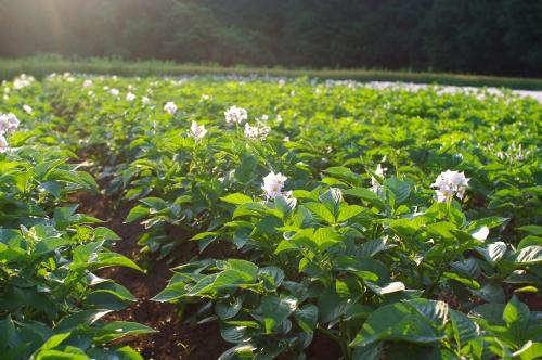 最近の大豆畑とジャガイモの花_c0110869_2138112.jpg