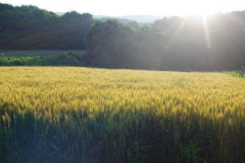 夕陽に照らされる小麦畑2012_c0110869_214831.jpg