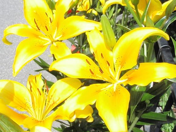 ユリが咲き始めました_a0207196_1215169.jpg