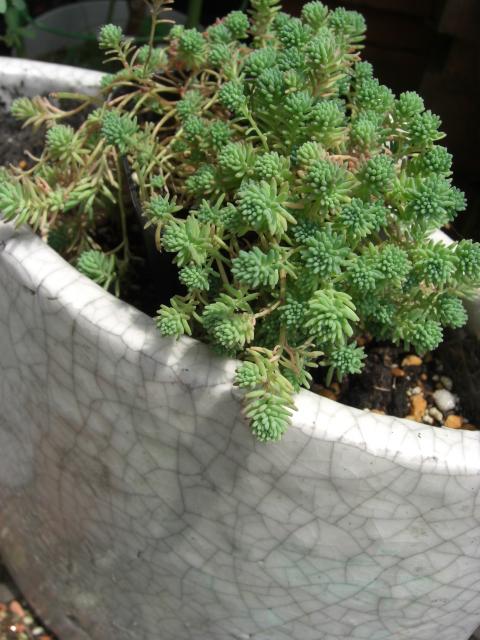 寒さに強い多肉植物_f0226713_043699.jpg