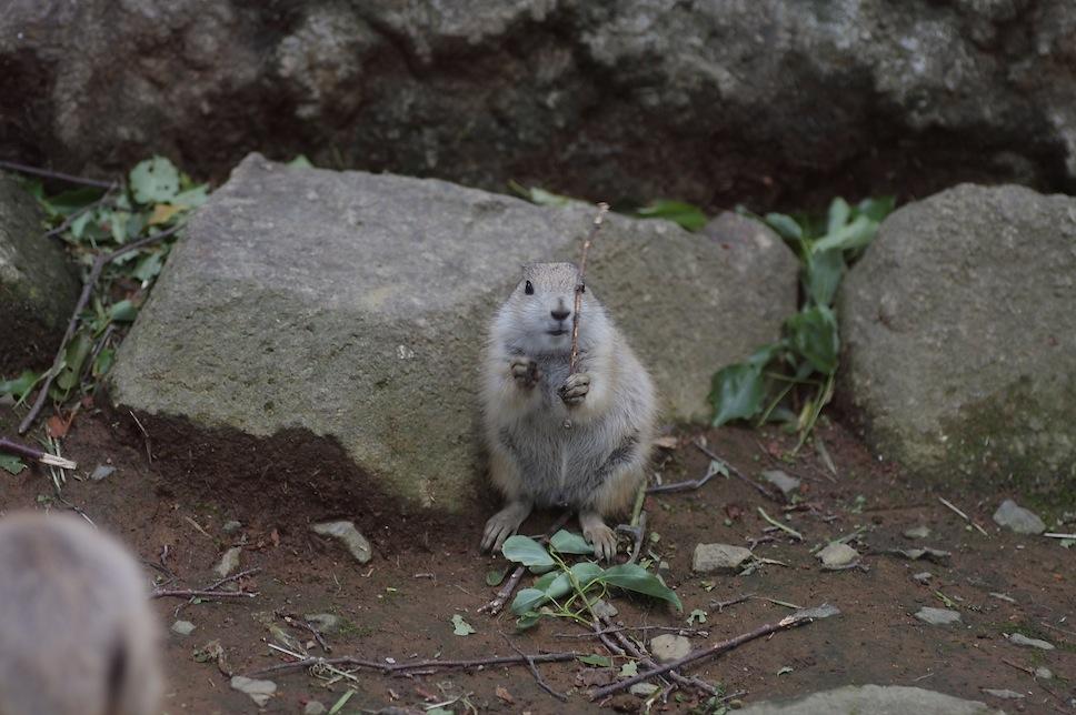 千葉市動物公園のプレーリードッグのせつない物語_c0222817_18195142.jpg
