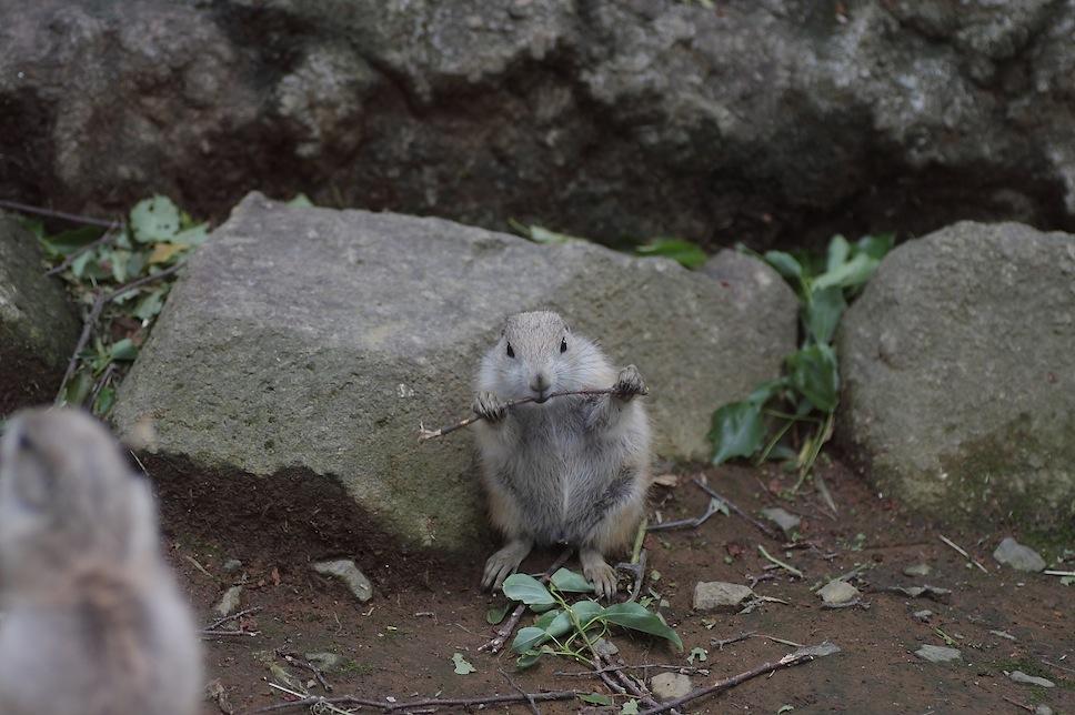 千葉市動物公園のプレーリードッグのせつない物語_c0222817_18195730.jpg