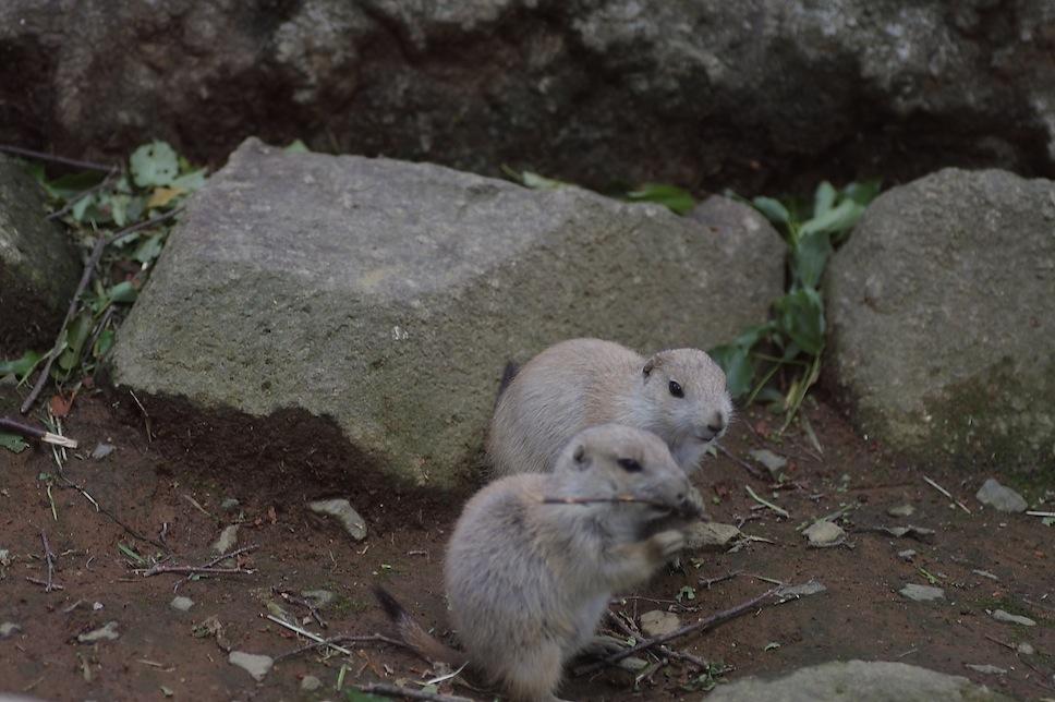 千葉市動物公園のプレーリードッグのせつない物語_c0222817_18213891.jpg