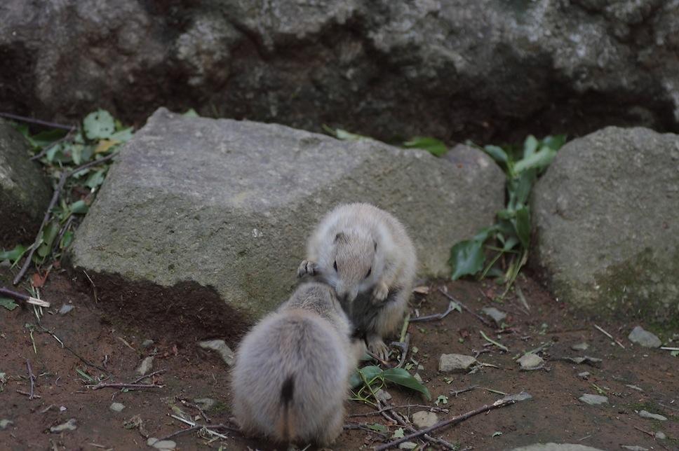 千葉市動物公園のプレーリードッグのせつない物語_c0222817_1821425.jpg