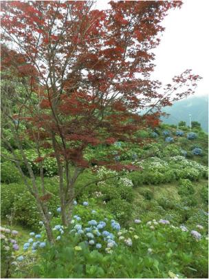 散歩部活動報告 「紫陽花のある風景 2012」_e0142619_2283862.jpg