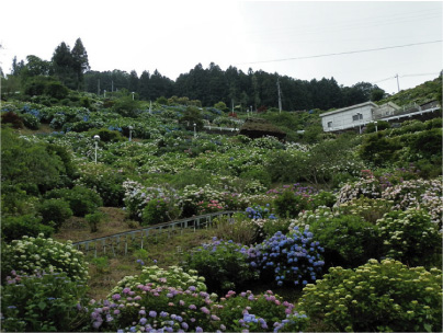 散歩部活動報告 「紫陽花のある風景 2012」_e0142619_2285075.jpg