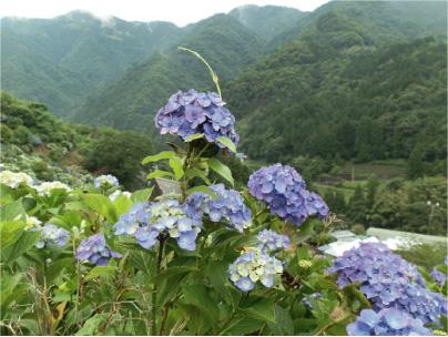 散歩部活動報告 「紫陽花のある風景 2012」_e0142619_228929.jpg