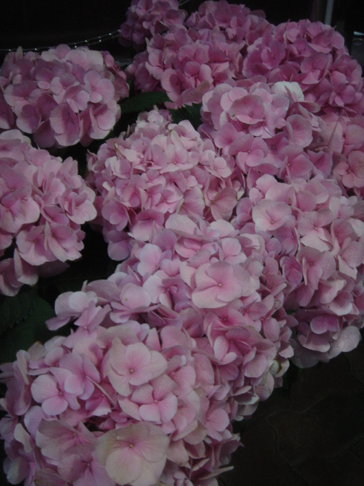 Season of hydrangeas -紫陽花の季節に-_c0138928_22313695.jpg