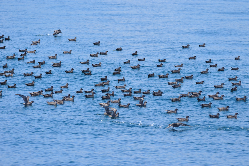 ハシボソミズナギドリ(Short-tailed Shearwater) ~2012.06_b0148352_15542971.jpg