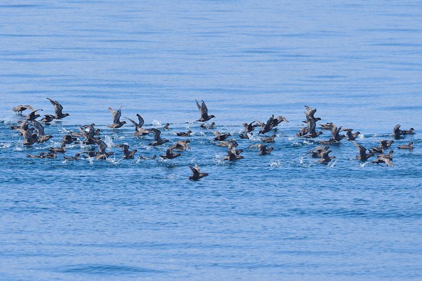 ハシボソミズナギドリ(Short-tailed Shearwater) ~2012.06_b0148352_1653237.jpg