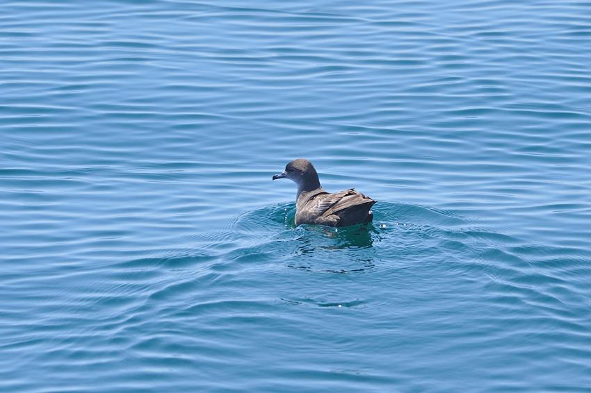 ハシボソミズナギドリ(Short-tailed Shearwater) ~2012.06_b0148352_1664286.jpg