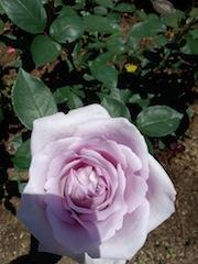 薔薇が咲いた〜〜♪薔薇が咲いた〜〜♪_b0105458_1803014.jpg