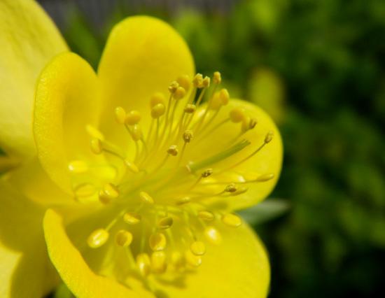 レリア・パープラタと、黄色のオダマキ♪_a0136293_1983370.jpg
