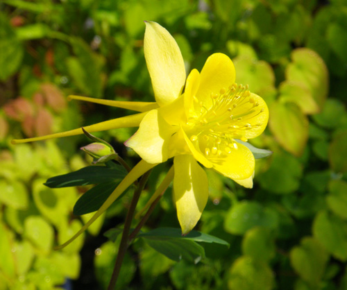 レリア・パープラタと、黄色のオダマキ♪_a0136293_1985662.jpg
