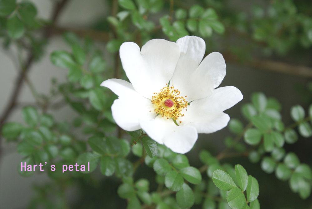 Hart\'s petal_e0228408_17103345.jpg