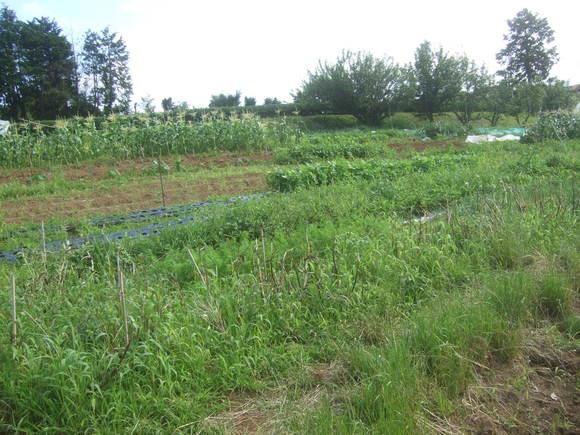 トマト&トウモロコシの防鳥対策!_b0137932_15253523.jpg