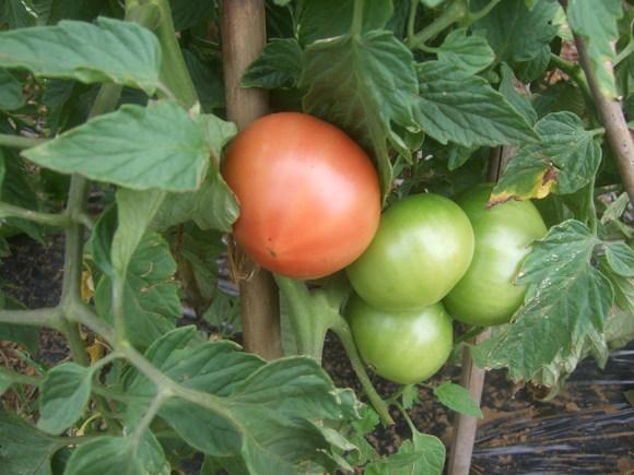 トマト&トウモロコシの防鳥対策!_b0137932_15261436.jpg