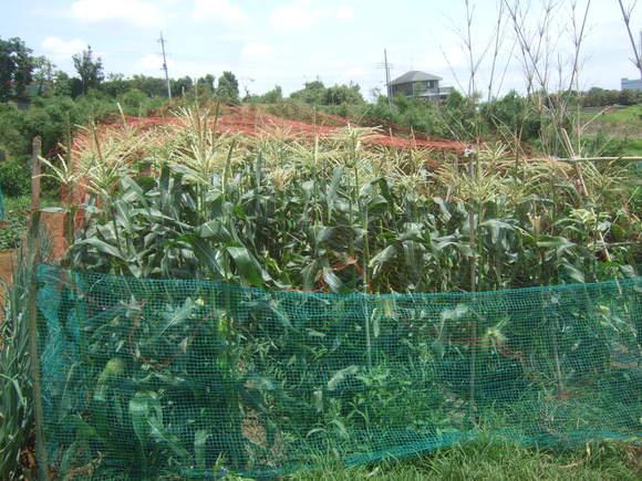 トマト&トウモロコシの防鳥対策!_b0137932_15262367.jpg