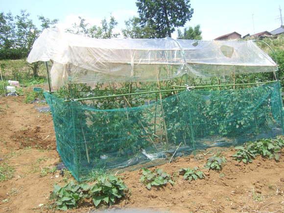 トマト&トウモロコシの防鳥対策!_b0137932_15265295.jpg