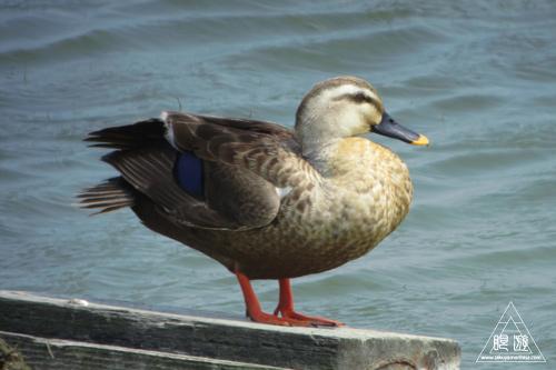 237 米子水鳥公園 ~デジスコの練習~_c0211532_12312968.jpg