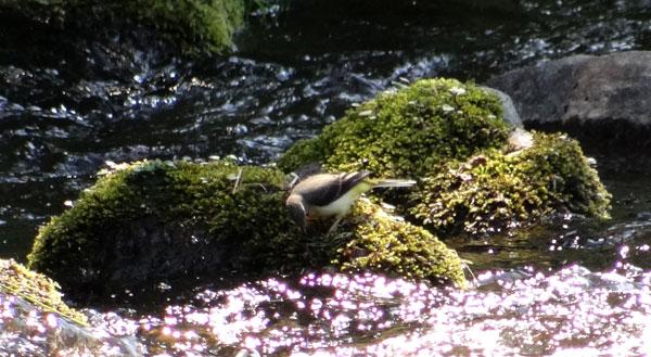 七滝のキセキレイ、日景温泉の茶々丸君など♪_a0136293_1440135.jpg