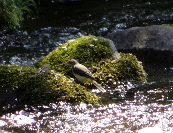 七滝のキセキレイ、日景温泉の茶々丸君など♪_a0136293_14402889.jpg