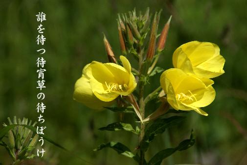 待宵草_e0099713_1659512.jpg