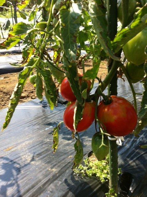 トマトの収穫害虫&捕獲器のメンテナンス_c0222448_11513063.jpg