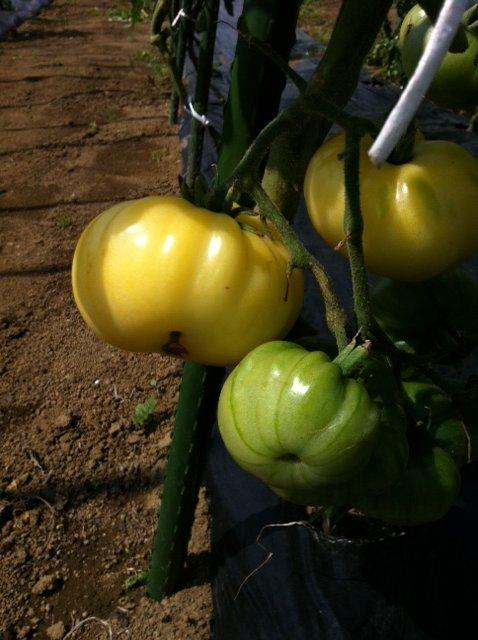 トマトの収穫害虫&捕獲器のメンテナンス_c0222448_1152348.jpg
