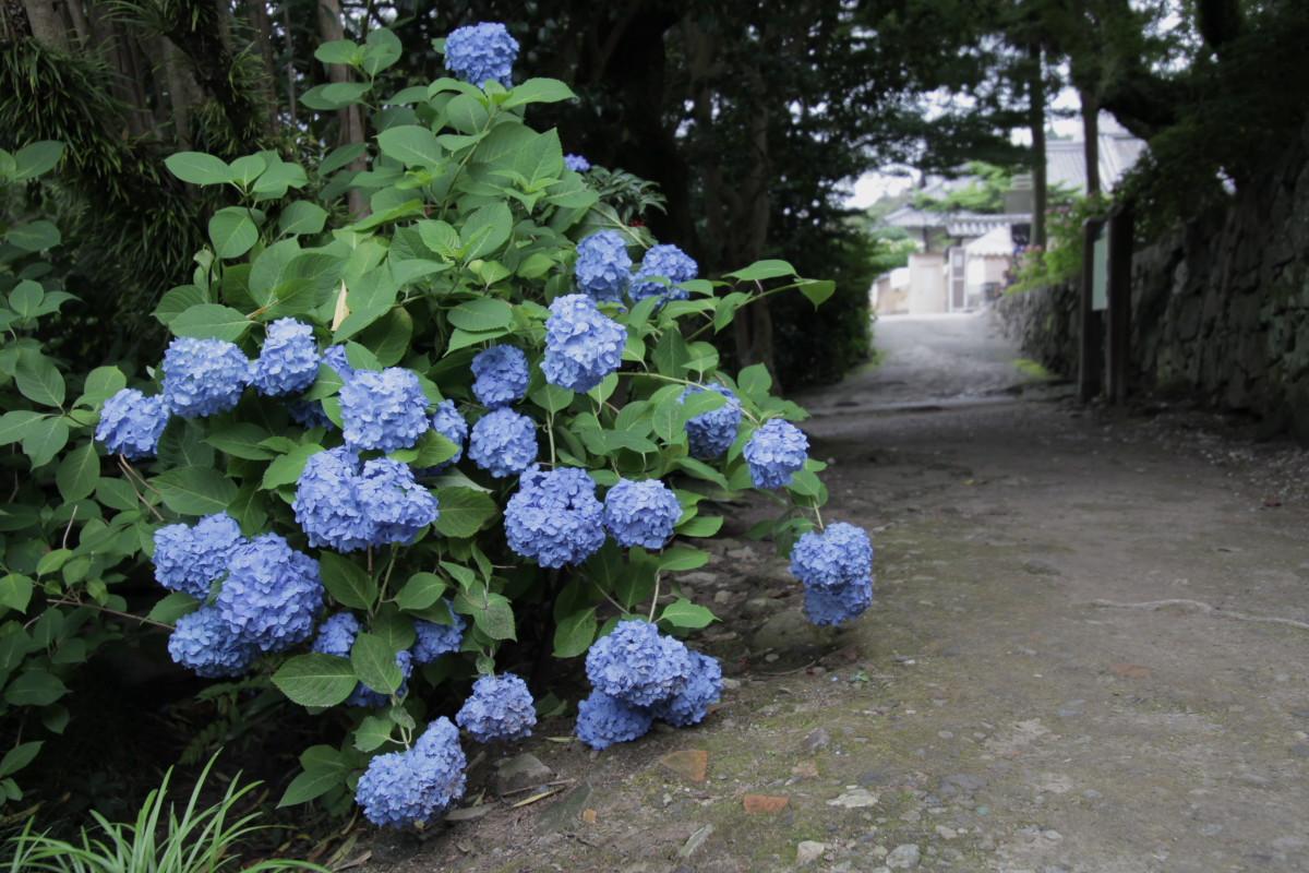 紫陽花 2012 <矢田寺>_f0021869_22192521.jpg